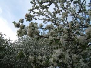 яблоневый_сад